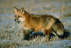 red fox 1.jpeg