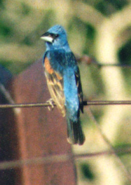 Blue_grosbeak