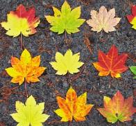 Autumnmaples_2