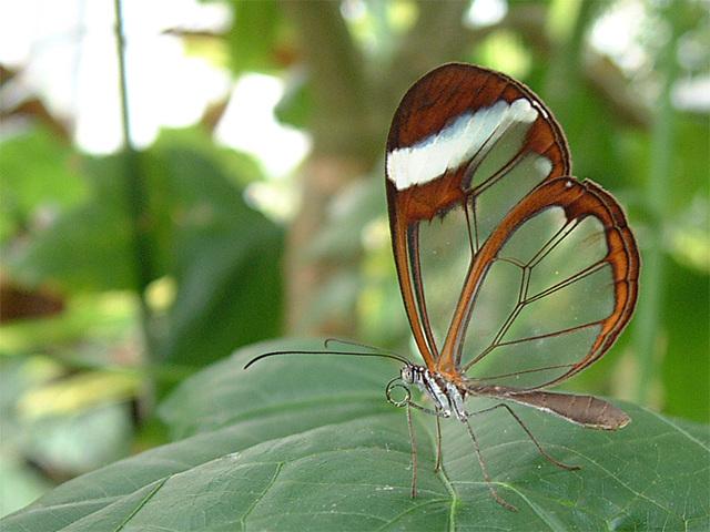 Glasswing_butterfly